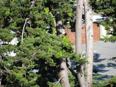 Parrots susurrating and lovey-doveing in the tree « Towse: views